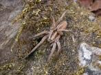 Ώρα να φρικάρουμε λιγάκι με τον ανατριχιαστικό αφιάλακα, μια μεγάλη επικίνδυνη αράχνη που συναντάμε καμιά φορά στην Ικαρία. Ένα θα σας πω: είναι ένα είδος ταραντούλας και η κοινή Ελληνική ονομασία του είναι... ΜΑΡΜΑΓΚΑ! Ευτυχώς η μαρμάγκα είναι πολύ βραδυκίνητη.