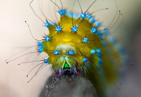 Saturnia pyri caterpillar ikaria