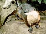Ikarian otter