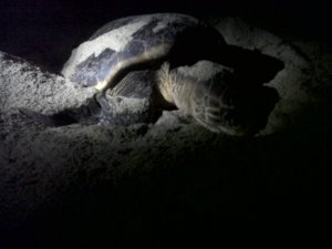 Caretta First time recorded