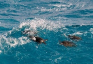Sea turtles in the surf, from Nana to agrimi's article '∩oso ∩ια Vα?'