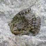 Βάτραχος των ποταμών της Ικαρίας