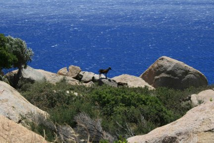 Unattended goats in Ikaria